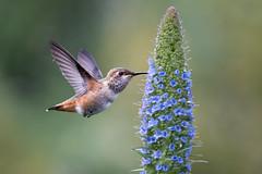 Hummingbird Season is Here! (Patricia Ware) Tags: allenshummingbird california canon ef400mmf4doisiiusmlens handheld prideofmadeira selasphorussasin httppwarezenfoliocom ©2018patriciawareallrightsreserved losangeles unitedstates us specanimal