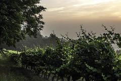 Vigneti a La Morra_Y3A9280 (candido33) Tags: barolo lamorra paesaggidelvino piemonte serradenari alba aurora filari vigne vigneti vitigni