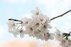 sakura (* Yumi *) Tags: sakura cherryblossom 桜 ソメイヨシノ flower