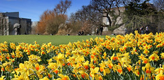 Keynes college students and Glorious Spring daffodils, University of Kent, Canterbury (Jim_Higham) Tags: universityofkent canterbury excellent he teaching research england uk european