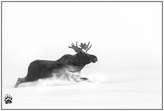 Bull Moose 011317-6521-W.jpg (RobsWildlife.com © TheVestGuy.com) Tags: winter nature nationalpark frost moose robswildlifephototours 011317 snow ice wildlife robswildlife coldsnow naturelovers bullmoose robswildlifecom yellowstonenationalpark snowcovered yellowstone snowing