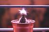 IMG_5364 (Karen-Photos) Tags: lofi lowfidelity canon canonlens reflex eos canoneos canonrebel rebel canont3i canonrebelt3i canoneos600d 600d eos600d 50mm 50mmlens 18 f18 flower flowers photography autogestion hobbie cultivo plantas nature naturaleza desdemipatio chile stgo santiago scl fotografia foto bokeh