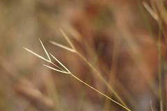 Victory!  Grass Patterns near MacKenzie Falls, Grampians, Victoria, Australia (Red Nomad OZ) Tags: grampians victoria australia grass grampiansnationalpark