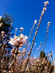 Spring is here (karma (Karen)) Tags: baltimore maryland neighborhood blossoms dof bokeh spring iphone