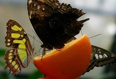 Schmetterlinge im Insektarium (Schmetterlingshaus) (eagle1effi) Tags: raw crop canon powershot g7 x mark ii canonpowershotg7xmarkii pedia photopedia fotopedia stoey about alhambra zoo wihelma butterfly schmetterling cr2 100mm f28