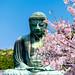 Cherry blossoms in Kotokuin Temple (Kamakura Great Buddha) : 鎌倉・長谷・高徳院(鎌倉大仏)