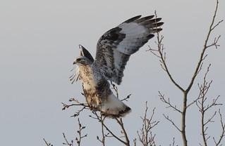 Rough-legged Hawk  9349