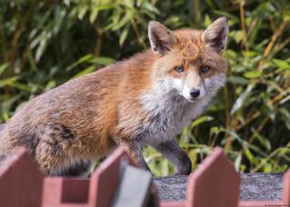 Red Fox : Vulpes vulpes