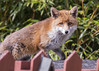 Red Fox : Vulpes vulpes (Jerry Hawker) Tags: redfox red fox vulpes suburban garden shed roof