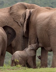 Baby Elephant stops by to eat (jimbobphoto) Tags: baby elephant africa addo southafrica animal herd family