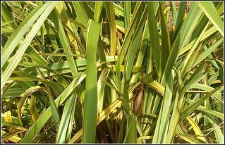 Ornamental Grass...