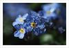 blue (Harald52) Tags: vergismeinnicht blüte pflanze natur blau wassertropfen