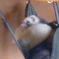 Let sleeping ferrets lie (Dave_A_2007) Tags: animal ferret mammal nature wildlife wilmcote warwickshire england