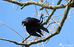 Attention je plonge ! (jean-daniel david) Tags: oiseau corneille noir nature réservenaturelle arbre branche ciel cielbleu bleu acrobatie closeup grosplan yverdonlesbains