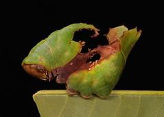 Prominent Moth Caterpillar (Notodontidae), unidentified (John Horstman (itchydogimages, SINOBUG)) Tags: insect macro china yunnan itchydogimages sinobug entomology moth lepidoptera caterpillar larva notodontidae black green fb tweet topf25 canon top
