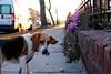Beagle (nkaicherry) Tags: beagle dc dog