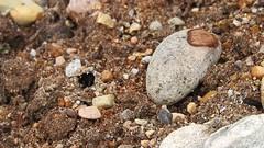 sand bear Arctosa perita appearing (BSCG (Badenoch and Strathspey Conservation Group)) Tags: acm arachnid spider lycosidae sand arctosa