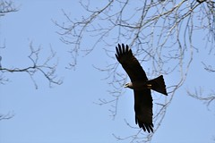milan2 (Carahiah) Tags: milan milannoir saintecroix parcanimalierdesaintecroix oiseau envol vol planer bird chasseur plumes ailes