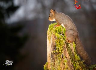 Red squirrel on tree trunk in dark