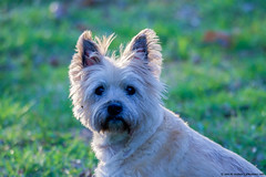 2018.04.12.8960 Blossom (Brunswick Forge) Tags: 2018 blossom blossie bigbits dog dogs doggy doggies animal animals animalportraits cairn terrier virginia d500 tamron150600mm spring grouped commented favorited