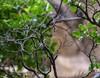 20180407-0I7A9745 (siddharthx) Tags: achampet bird birdwatching birdsofindia birdsoftelangana canon canon7dmkii closerange dawn dawnsunriseumamaheshwaram ef100400f4556isii goldenhour portraiture sunrise telangana umamaheshwaramtemple umamaheshwaram india in yellowthroatedbulbul bulbul tree leaf wood