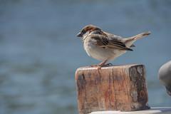 Moineau (House Sparrow) catalan  (Cadaquès - Espagne). (Loup-Blanc) Tags: housesparrow moineaudomestique passerdomesticus passeridae passeriformes cadaqués catalunya espagne es