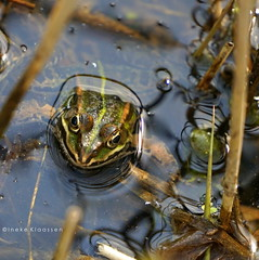 Hello there (Ineke Klaassen) Tags: ooij frog frogs kikker kikkers nature natur natuur natuurfotografie natuurfoto ooijpolder naturephotography grenouille sony sonyimages sonya6000 sonyalpha sonyalpha6000 sonyilce6000 ilce paslangsdedijk nederland 2550fav zoomnl animalplanet 40fav 40faves 1000views 1500views