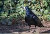 Saatkrähe (eric-d at gmx.net) Tags: corvus frugilegus corvusfrugilegus saatkähe rabenvogel eric ngc