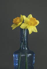 Two Daffodils & Blue Bottle (FujiPhotoMan) Tags: fujifilm xt2 xf 1655mm f28 neewer softbox manfrotto 190 tripod daffodils blue bottle camborne cornwall uk