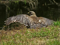 Red Shouldered Hawk (Photos by the Swamper) Tags: raptors birdsofprey hawks redshoulderedhawk