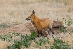 Red Fox vixen hanging out at one of her dens
