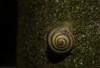 (dustaway) Tags: mollusca gastropoda rainforest rprr rotarypark lismore nature northernrivers nsw natur australia