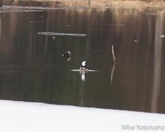 IMG_3836 (mikekos333) Tags: 2018 stetson birds home duck hoodedmerganser