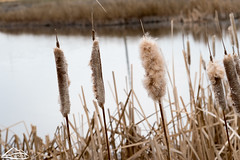 Cattails (Washington State Department of Agriculture) Tags: weeds weed water