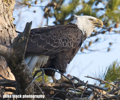 056dd2 (Mike Black photography) Tags: bald eagle bird birding big year nature watching canon dslr 5dsr body 800mm usm is l lens nj new jersey shore trees nest nesting pair wildlife sky blue white black mike