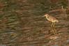 Indian Pond Heron ( ARDEOLA GREY) (Balaji - 4.5 Million +Views and Growin) Tags: birds birdphotography birding birdphotographer birdwatcher birdlovers birdmigration birdsofindia birdsandcolors birdsofsouthindia birdssanctuary vedanthangalbirdssantuary vedanthangal indiatravel indianbirds canondslr canon canon70d travel traveller chennai chennaitravel tour holiday vacation vacationtour indianpondheron heron ardeolagrey