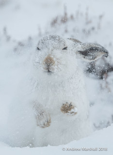 Mountain hare, ( Lepus timidus)