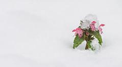 Waiting for the Spring (Inka56) Tags: snow flower wildflowers winter winterbeauty 7dwf throughherlens crazytuesdaytheme negativespace