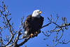 On the Highest Branch (MJMPhoto II) Tags: ameericanbaldeagle mississippiriver bluesky branches nikond850