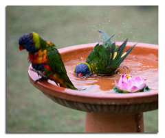 Lorikeets Bathing (Bear Dale) Tags: lorikeets bathing nikon d850 afs 70200mm vr f28e fl ed australia bird bear dale ulladulla nsw bath
