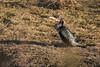 Cormorant (Dougie Edmond) Tags: bird beach water birds nature wildlife springtime spring canon monkton scotland unitedkingdom gb