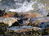 Purple Sandpiper (rachelhynes) Tags: purple sandpiper bird wildlife nature sea shore