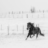 22years of age youngster enjoys the comeback of frost and snow (Juhwie_Fotography) Tags: isi isipower icelandichorse hestar hestur islandpferd winter snow franken bavaria animals bnw bw blackandwhite blackwhite monochrome pentax pentaxart ricohimaging k1 77mmlimited ngc pferd horse