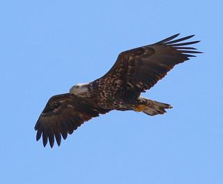 Bald-Eagle-124w