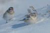 Tough little birds - Snow Bunting (Plectrophenax nivalis) (paulwatts980) Tags: aves avian birds cairngormsnationalpark d500 ice nikon500mmf4 philgowerbirdtoursscotland2018 plectrophenaxnivalis scotland snow snowbunting snowing uk wildlife