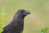 Smooth-billed ani (Crotophaga ani) (tomaszberlin) Tags: georgetown caymanislands ky smoothbilled ani nature wildlife birdwatching birdperfect