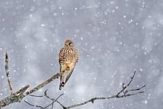 Faucon crécerelle (Falco tinnunculus), (jean-danielechenard1) Tags: fauconcrécerelle falcotinnunculus oiseau bird falconidae chordata vertebrata falco commonkestrel turmfalke dombresson neige snow schnee