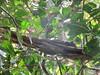Callosciurus erythraeus (dhobern) Tags: 2018 china march xtbg xishuangbanna yunnan mammalia sciuridae rodentia callosciuruserythraeus