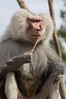 Male Hamadryas Baboon (The_Speedy_Butterfly) Tags: sandiego california unitedstates us monkey baboon