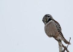 Northern Hawk Owl...#6 (Guy Lichter Photography - 3.7M views Thank you) Tags: canon 5d3 canada manitoba wildlife animal animals bird birds owl owls northernhawkowl